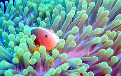 Skunk Clownfish And Sea Anemone Poster
