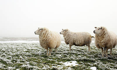 Three Sheep In Winter Poster
