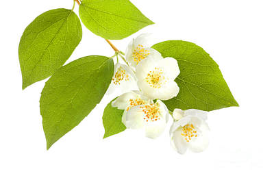 Deer Resistant Flowers Photograph - A Beautiful White Flower by Boon Mee