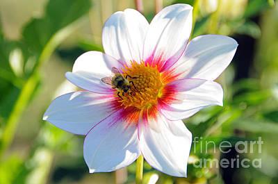 Photograph - Bee On Dahlia by Sarah Schroder