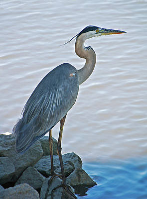 Birds Rights Managed Images - Great Blue Heron Portrait Royalty-Free Image by Suzanne Gaff