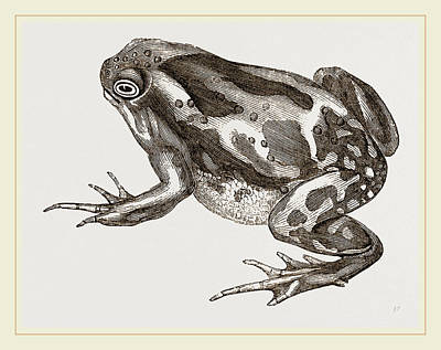 Toads Drawing - Marbled Toad by Litz Collection