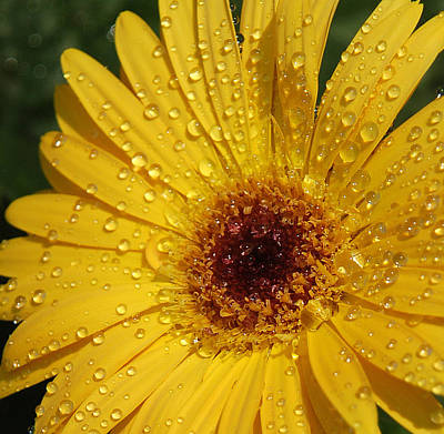 Autumn Leaves Rights Managed Images - Yellow Gerbera Royalty-Free Image by Suzanne Gaff