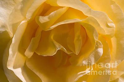 Yellow Rose Ruffles Art Print