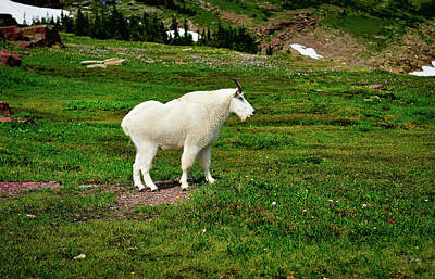 Mountain Goat Photograph - Mountain Goat by Greg Norrell