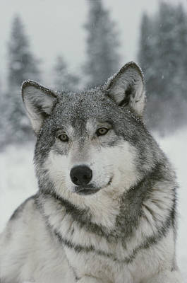 A Portrait Of A Beautiful Gray Wolf Art Print by Jim And Jamie Dutcher