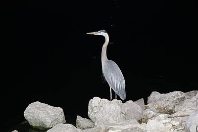 Photograph - Heron by RobLew Photography