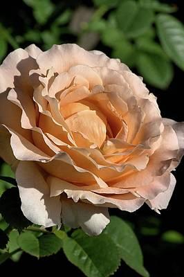 Print featuring the photograph Orange Rose by Joy Watson