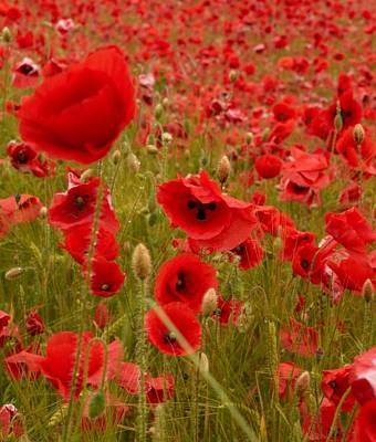 Jouko Lehto Royalty-Free and Rights-Managed Images - Red Poppies 4 by Jouko Lehto