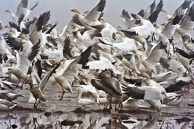 Photograph - Snow Geese by Gary Rose