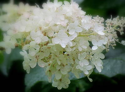 Photograph - Hydrangea by France Laliberte