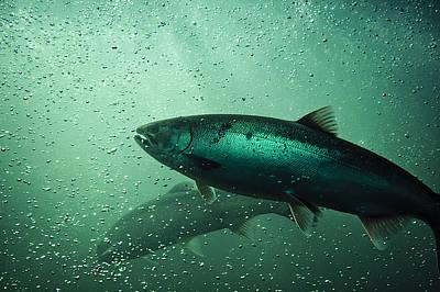 School Of Chinook Salmon Art Print by Kyu Oh