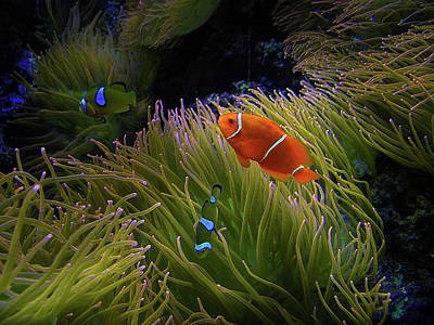 Clown Fish Photograph - 1869 by Peter Holme III