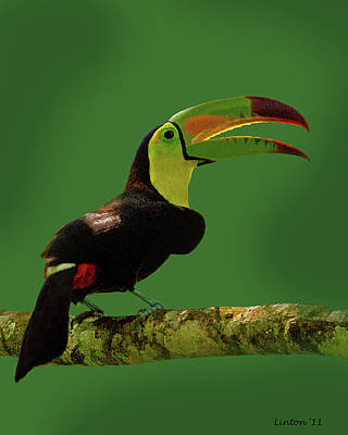 Toucan Photograph - Keel-billed Toucan by Larry Linton