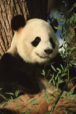 And Threatened Animals Photograph - A Close View Of A Panda by Taylor S. Kennedy
