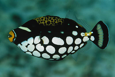 Triggerfish Photograph - A Juvenile Clown Trigger Fish by Tim Laman