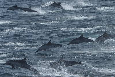 A Pod Of Common Dolphins Leaping Art Print by Ralph Lee Hopkins