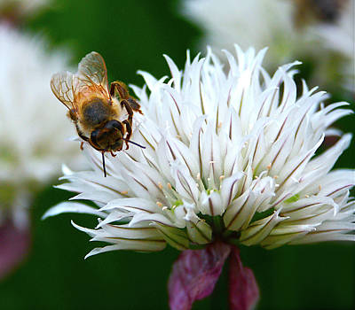 A Solitary Bee Visiting White Flower Original