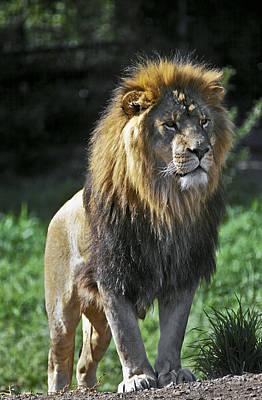 An Alert, Majestic Lion With An Art Print