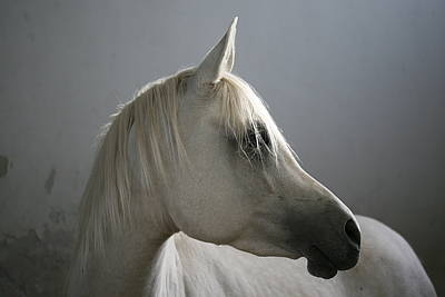 Gulf Images Photograph - Arabian Horse by Photo by Eman Jamal