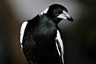Stock Photograph - Australian Magpie by John Buxton