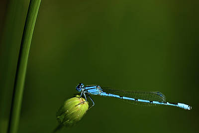Photograph - Azure Damselfly-coenagrion Puella by  Onyonet  Photo Studios