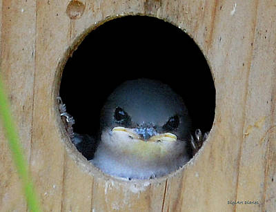 Swallow Digital Art - Barn Swallow Chick by DigiArt Diaries by Vicky B Fuller