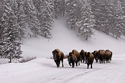 Trees In Snow Photograph - Bison In Winter by DBushue Photography