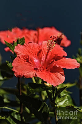 Photograph - Blooming Hibiscus  by Robert Bales