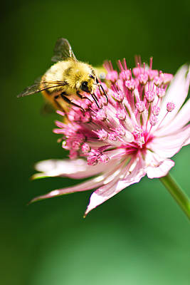 Photograph - Busy Bee by Kimberly Deverell