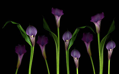 Purple Flowers Photograph - Calla Lilies by Marlene Ford