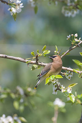 Photograph - Cedar Waxwing by Margaret Palmer