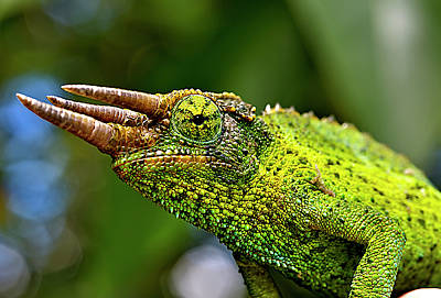 Lizards Photograph - Chameleon by Bill Adams - MomentsNow.com