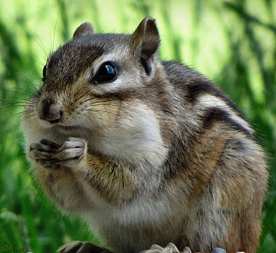 Photograph - Chipmunk by September  Stone