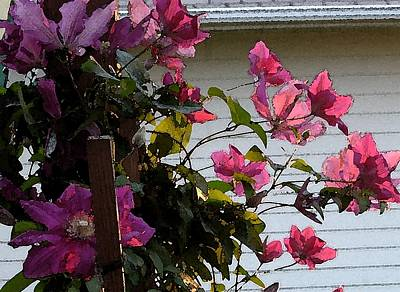Clematis Art Print by Susan Fisher