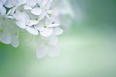 Blossom Photograph - Close Up Of White Hydrangea by Elisabeth Schmitt