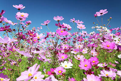 Cosmos Flowers Art Print by Neil Overy