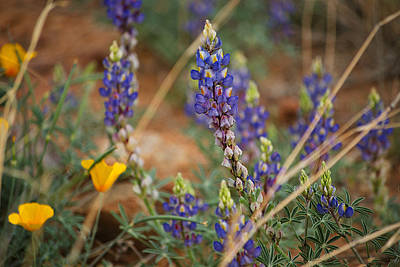 Photograph - Coulters Lupine Flowers by Donna Greene