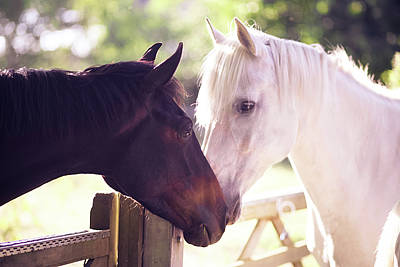 Dark Bay And Gray Horse Sniffing Each Other Art Print by Sasha Bell