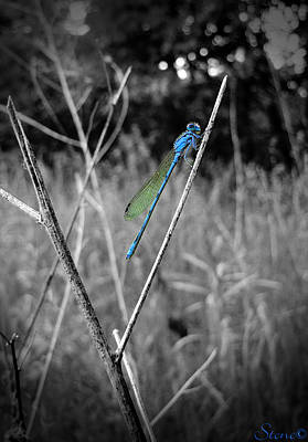 Photograph - Double Striped Bluet by September  Stone