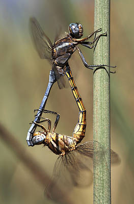 Dragonflies Mating Photograph - Dragonflies Mating by Neil Overy