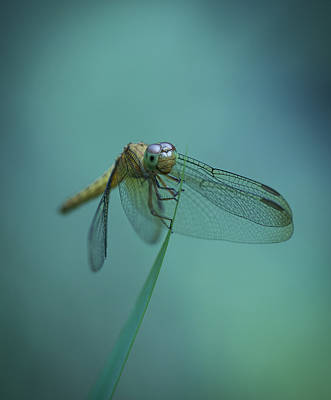 Photograph - Dragonfly by Zoe Ferrie