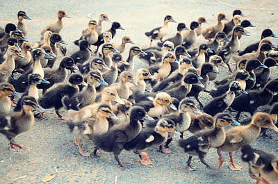 Flock Of Bird Photograph - Ducklings by Raj's Photography