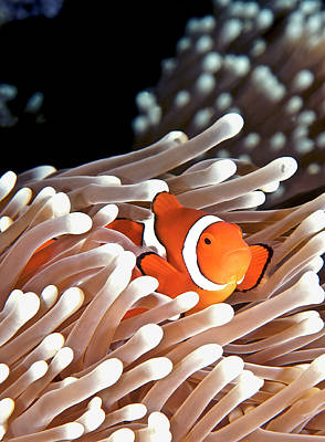 Underwater View Photograph - False Clown Anemonefish by Copyright Melissa Fiene