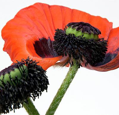 Flower Poppy In Studio Art Print