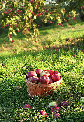 Freshly Picked Apples In The Orchard  Art Print by Sandra Cunningham
