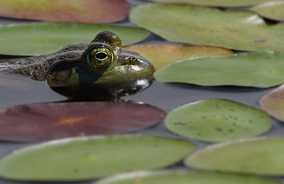 Photograph - Frog - Grenouille by Michel Legare