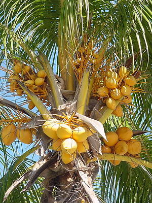 Photograph - Golden Coconuts Key West by Audrey Peaty