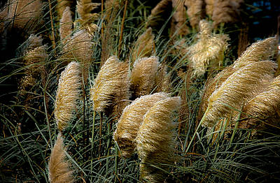 Golden Pampas In The Wind Art Print by DigiArt Diaries by Vicky B Fuller