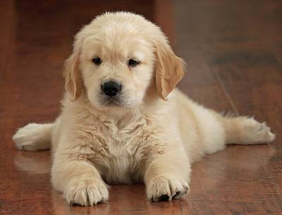 Golden Retriever Photograph - Golden Retriever Puppy On Floor by Stan Fellerman